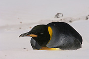King Penguin (Aptenodytes p. patagonica) lying down on beach.<br /> Volunteer Point, Johnson's Harbour, East Falkland Island. FALKLAND ISLANDS.<br /> RANGE: Circumpolar, breeding on Subantarctic Islands. Extensive colonies found in South Georgia, Marion, Crozet, Kerguelen and Macquarie Islands. The Falklands represent its most northerly range. They are highly gregarious which probably accounts for it common association with colonies of Gentoo Penguins.<br /> King Penguins are the largest and most colourful penguins found in the Falklands. They have a unique breeding cycle. The incubation of one egg lasts for 54-55 days and chick rearing 11-12 months. As the complete cycle takes more than one year a pair will generally only breed twice in three years.