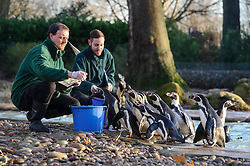 © Licensed to London News Pictures. 02/01/2014 London, UK. Keepers Carl Ashworth and Gabriele Sidoli count the penguins during the annual stocktake at London Zoo, Regents Park. <br /> Home to more than 800 unique species, zookeepers take stock of every invertebrate, bird, fish, mammal, reptile, and amphibian counting every animal in the annual stocktake.<br /> The compulsory count is required as part of London Zoo's license, the results are logged and the data is shared with zoos around the world to manage international breeding programmes. Photo credit : Simon Jacobs/LNP