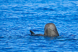 Short-finned pilot whales, mother and calf, mother whale spyhopping, Globicephala macrorhynchus, off Kona, Big Island, Hawaii, Pacific Ocean