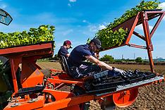 Pumpkin planting, Kilduff Farm, East Lothian, 1 June 2021