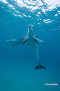 bottlenose dolphin, Tursiops truncatus, Bay of Islands, North Island, New Zealand ( South Pacific Ocean )