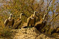 White-backed Vultures, Hoedspruit Endangered Species Centre, near Kruger National Park, South Africa
