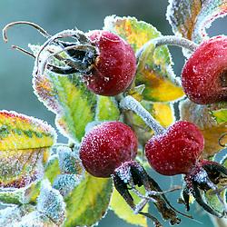 Frost on the hips of Rosa 'Fru Dagmar Hastrup'  syn 'R. 'Frau Dagmar Hastroop'