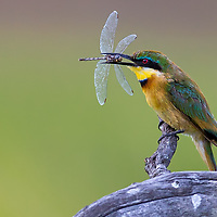 Bee Eater with Dragon Fly in Botswana
