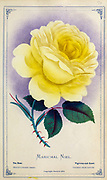 Marichal Niel - Tea Rose from Dewey's Pocket Series ' The nurseryman's pocket specimen book : colored from nature : fruits, flowers, ornamental trees, shrubs, roses, &c by Dewey, D. M. (Dellon Marcus), 1819-1889, publisher; Mason, S.F Published in Rochester, NY by D.M. Dewey in 1872