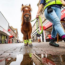 Glen, the Shetland Pony,