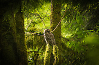 A barred owl in the fading light next to Deep Lake, in Enumclaw, Washington.