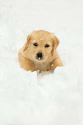 """""""Puppy in Truckee Snow 4"""" - Photograph of a Golden Retriever puppy """"Quill"""" playing in the snow in Truckee, California."""