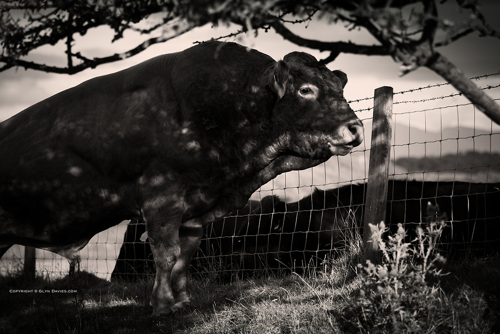 Loved the patch of sunlight happening to alight on the Bull's Eye as he chatted to the cows over the fence!