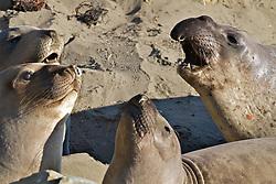 San Luis Obispo, Elephant seals, Piedras Blancas, San Simeon ,CA,