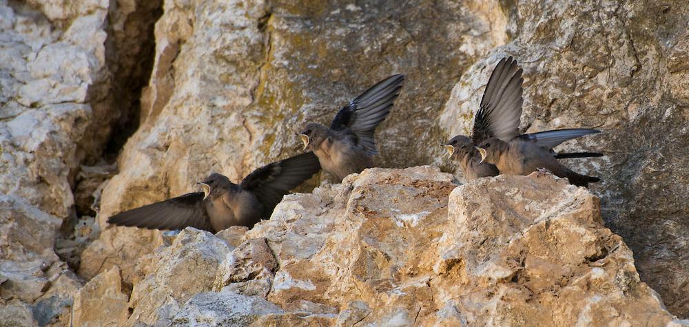 Crag martin fledglings begging for food.