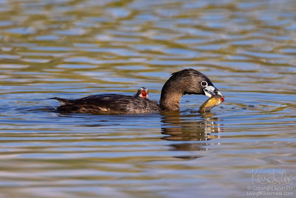 A pied-billed grebe (Podilymbus podiceps) breaks off a piece of fish to feed its hungry chick on a pond in the Union Bay Natural Area, Seattle, Washington.