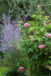 Perovskia atriplicifolia 'Blue Spire' and Rosa 'Comte de Chambourd'