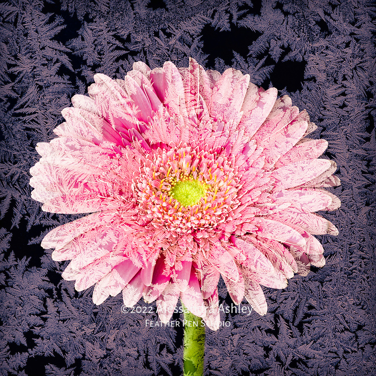 Warm-toned gerbera daisy, composited with frosty ice crystals on glass.