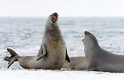 Southern elephant seals (Mirounga leonina) fighting at Penguin Island, South Shetland Islands, Antarctica