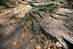 CZECH REPUBLIC VYSOCINA APR09 - Exposed roots of pine trees near Ctyri Palice, Vysocina, Czech Republic...jre/Photo by Jiri Rezac..© Jiri Rezac 2009