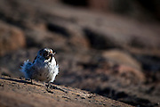 Female snow bunting with a beakfull of maggots to feed to fledgling that's still in the nest. Photographed on shore, near the McGarry Islands , face of Humboldt Glacier, northwestern Greenland.