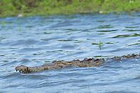 American crocodile, Crocodylus acutus, swimming in the Tarcoles River, Costa Rica