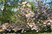 Pink cherry blossom flowers on tree, UK