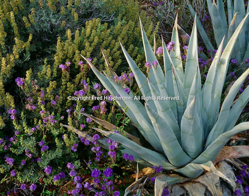 Phacelia or wild heliotrope, Phacelia distans, flowering next to desert agave, Agave deserti, with burrobrush, Ambrosia clumosa, Jojoba Wash, Anza-Borrego Desert State Park, California.