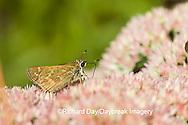 03729-004.06 Sachem (Atalopedes campestris) on Autumn Joy Sedum (Sedum spectabile) Marion Co.  IL