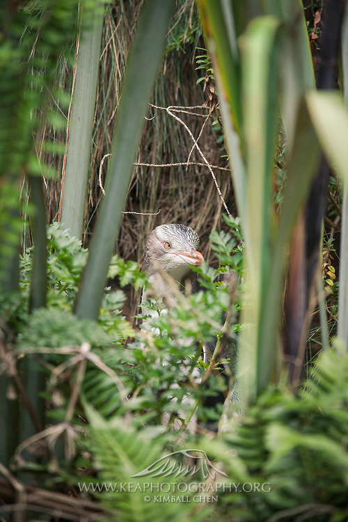 Unlike the gregarious penguins in the Antarctic, New Zealand's endangered yellow-eyed penguin is isolative, nesting and hiding in the dense coastal forest.  Curio Bay, Catlins, New Zealand