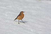 Stock photo of American Pipit captured in Colorado.  These birds eat insects trapped in the snowbanks in the alpine tundra.