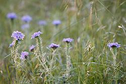 Prairie verbena (Glandularia bipinnatifida)  on native Blackland Prairie at the Frankfurt Prairie Preserve, Dallas Texas, USA. (Tentative ID).