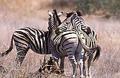 African Wildlife Portfolio. Rukshan Jayewardene.