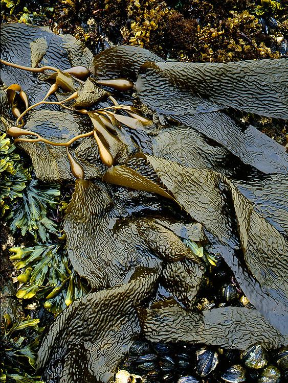 Kelp, rockweed and mussels, Olympic National Park, Washington, USA