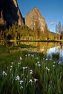 Wild iris wildflowers next to flooded meadow in spring, below Cathederal Rocks, Yosemite Valley, California