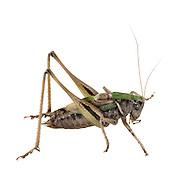 Bog Bish-cricket male - Metrioptera brachyptera