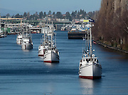 A line of historic longliner fishing vessels, led by the 1913 Vansee at right, heads east in the Lake Washington Ship Canal on the way to the South end of Lake Union. (Greg Gilbert / The Seattle Times)