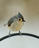 Tufted Titmouse (Baeolophus bicolor). Image taken with a Fuji X-H1 camera and 100-400 mm OIS lens.