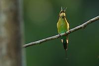 Rainbow Bee-eater (Merops ornatus) with a cicada prey.