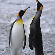 King Penguin (Aptenodytes p. patagonica) pair of adults. St. Andrew's Bay, South Georgia Islands