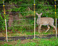 Deer outside the electric fence.  Image taken with a Fuji X-T2 camera and 100-400 mm OIS lens (ISO 1600, 100 mm, f/6.4, 1/20 sec)
