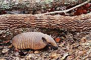 Yellow or Six-banded Armadillo<br />Euphractus sexcinctus<br />Cerrado Habitat.  BRAZIL.  South America<br />Range: East South America, Guianas to Argentina