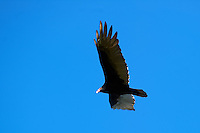 Turkey Vulture Soaring. Autumn in New Jersey. Image taken with a Nikon D3s and 300 mm f/2.8 VR lens (ISO 200, 300 mm, f/4.5, 1/320).