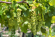 Bunches of green grapes growing on ancient grapevine in vineyard for white wine production in Sicily