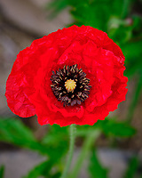 Red Oriental Poppy flower. Image taken with a Fuji X-T3 camera and 80 mm f/2.8 OIS macro lens (ISO 160, 80 mm, f/5.6, 1/140 sec).