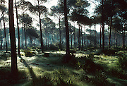 SPAIN, ANDALUSIA La Doñana National Park pines