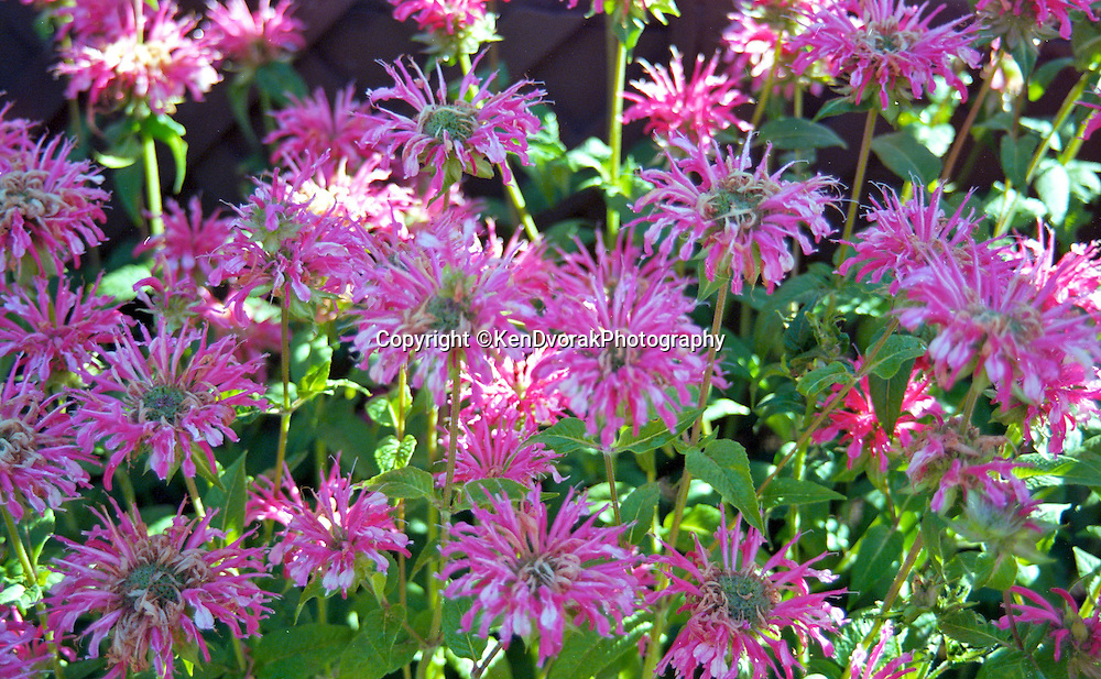Flowers do bloom in Montana. These are a favorite of hummingbirds and butterfly.