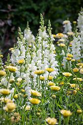 Antirrhinum majus 'White Giant' F1 - snapdragon - and Calendula officinalis 'Snow Princess' - marigold