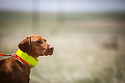 SHOT 5/9/20 1:09:57 PM - Various pointing breeds compete in the Vizsla Club of Colorado Licensed Hunt Test Premium at the Rocky Mountain Sporting Dog Club Grounds in Keenesburg, Co. (Photo by Marc Piscotty / © 2020)