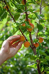 Harvesting apricots - Prunus armeniaca