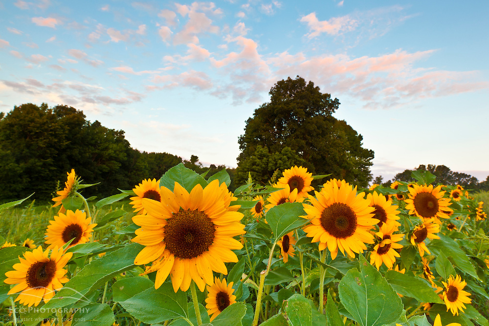 A field of sunflowers at Heron Pond Farm in South Hampton, New Hampshire.