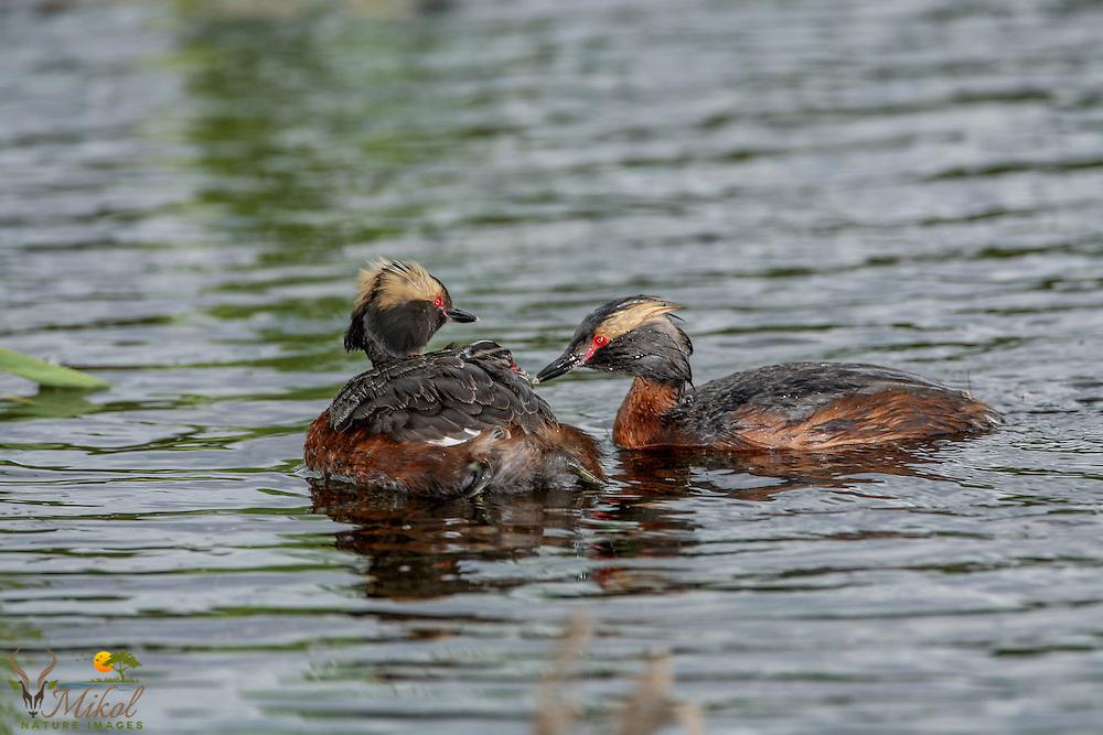 Horned Grebe pair feeding chick on back