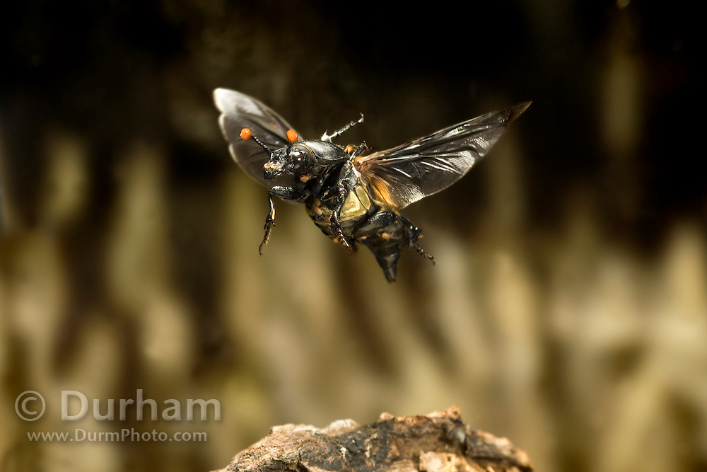 A carrion beetle (Nicrophorus carolinensis) in flight, Texas. Note the parasitic mites living on the exoskeleton.