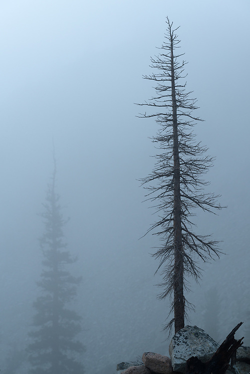 Dead and live trees on a foggy evening in Idaho's Sawtooth Mountains.